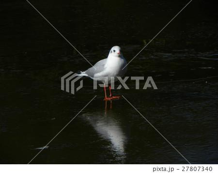稲毛海浜公園の池の氷の上のユリカモメ 27807340