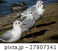 稲毛海浜公園に飛来したユリカモメ 27807341
