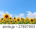 北海道 夏の青空と元気に咲くひまわり 27807903