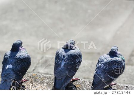 冬 陽だまりの鳩 27815448