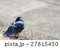 鳩 ハト 野鳥の写真 27815450