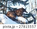 シンリンオオカミ 狼 イヌ科の写真 27815557