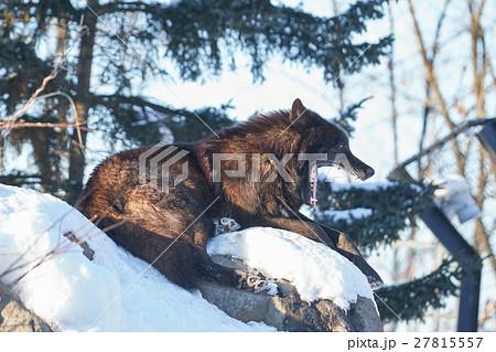 あくびをしているシンリンオオカミ 27815557