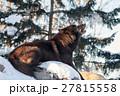 シンリンオオカミ 狼 イヌ科の写真 27815558