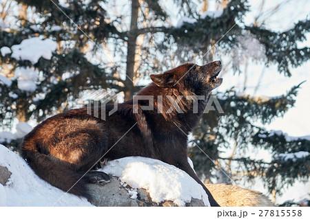 シンリンオオカミの遠吠え 27815558