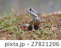 とかげ トカゲ 動物の写真 27821206