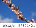 桜 花 小鳥の写真 27821421