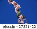 桜 花 小鳥の写真 27821422