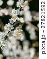 梅 梅の花 うめの写真 27821592