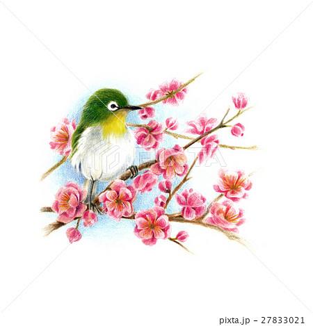 春の予感。梅とメジロ 27833021