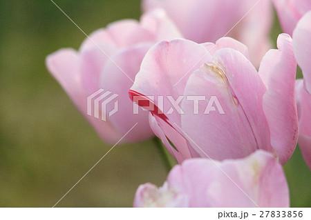チューリップ (ピンクダイヤモンド) その1。 Tulip 27833856
