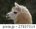 アルパカ 動物 哺乳類の写真 27837314