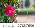 山茶花 27837659