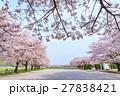 日本一の桜回廊 満開の桜並木と散り桜 27838421