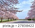 日本一の桜回廊 満開の桜並木と散り桜 27838422
