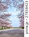 日本一の桜回廊 満開の桜並木と散り桜 27838423