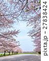 日本一の桜回廊 満開の桜並木と散り桜 27838424