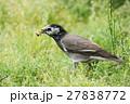 ムクドリ 野鳥 鳥の写真 27838772