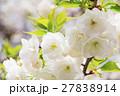 シロタエ(白妙、サトサクラ/バラ科) 27838914