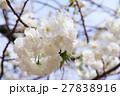 シロタエ(白妙、サトサクラ/バラ科) 27838916
