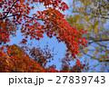 京都大原野神社の紅葉 27839743