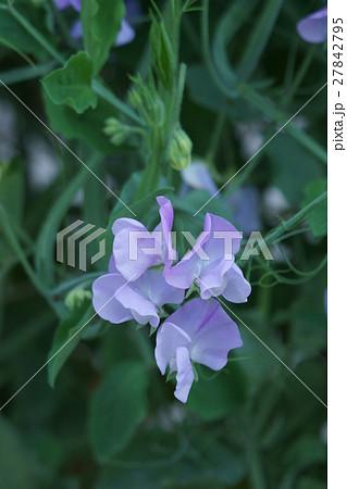 四角豆 シカクマメ 花言葉は「思いやり」 27842795