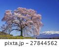 わに塚の桜 春 桜の写真 27844562