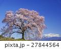 わに塚の桜 春 桜の写真 27844564