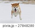 雪と柴犬 27848280