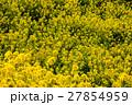 菜の花 27854959