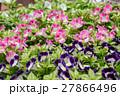 花 花壇 トレニアの写真 27866496