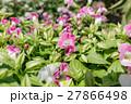 花 花壇 トレニアの写真 27866498