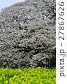 桜 27867626