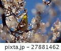 梅 メジロ 鳥の写真 27881462