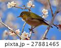 梅 メジロ 鳥の写真 27881465