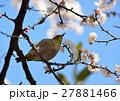 梅 メジロ 鳥の写真 27881466