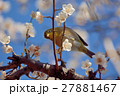 梅 メジロ 鳥の写真 27881467