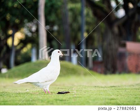 ハワイ 白い鳩 27882661