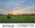 Cows in Pasture at Sunset 27883730