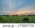 Cows in Pasture at Sunset 27883738