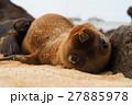 アシカ 赤ちゃん ガラパゴスアシカの写真 27885978