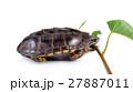 かめ カメ リクガメの写真 27887011