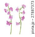 スイートピー ピンク色 花のイラスト 27887373