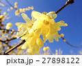 青空と黄色い蝋梅2 27898122