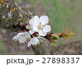 Cherry flowers on branch tree at the springtime in 27898337