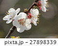 Cherry flowers on branch tree at the springtime in 27898339