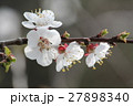 Cherry flowers on branch tree at the springtime in 27898340