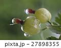 Ripe green berries, closeup shot 27898355