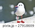 ユリカモメ 鳥 カモメの写真 27918609