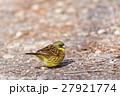 アオジ 小鳥 ホオジロ科の写真 27921774